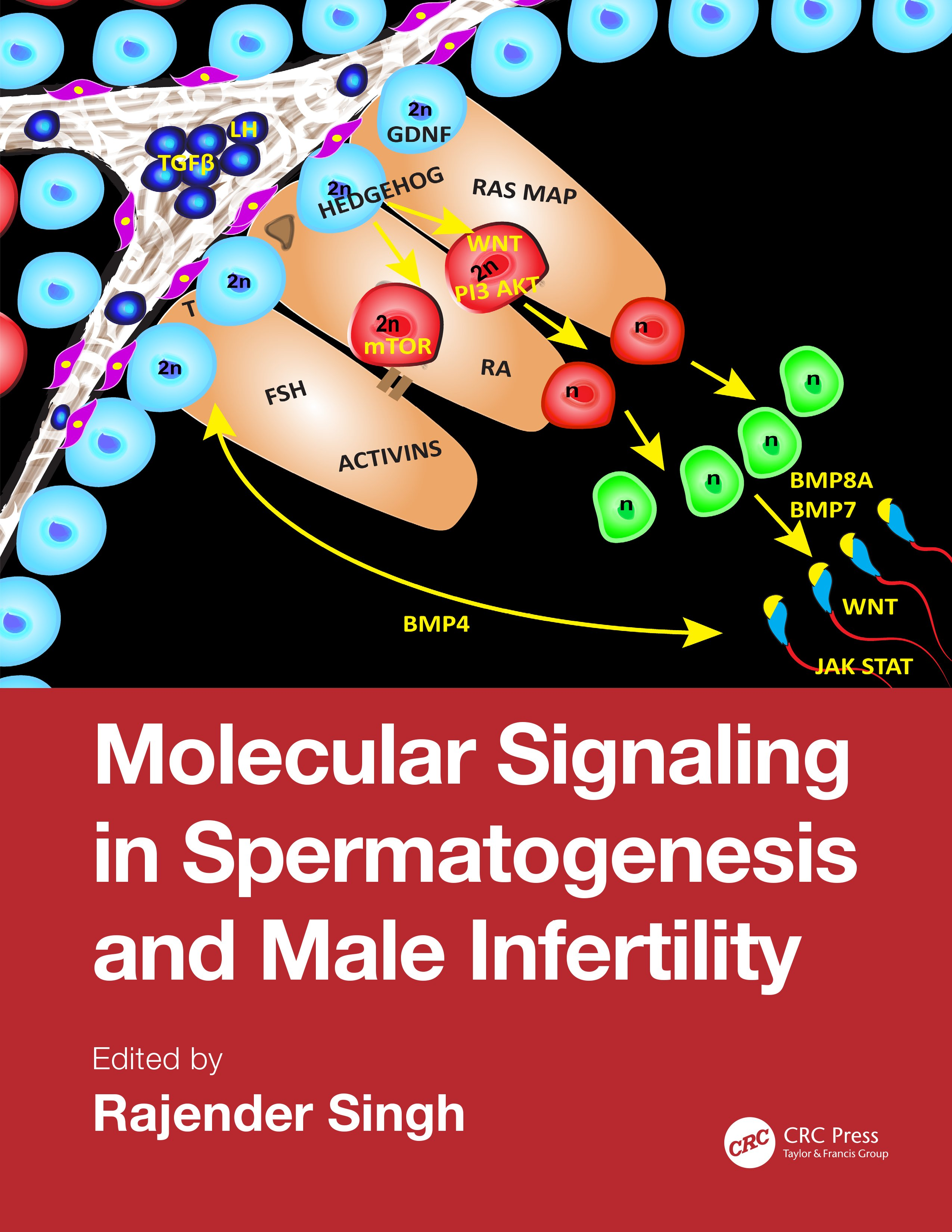Molecular Signaling in Spermatogenesis and Male Infertility: 1st Edition (Hardback) book cover